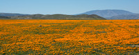 California Poppies 2014